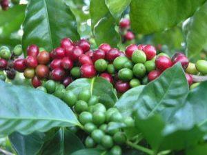 kofe-arabika1