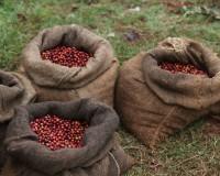Кенийский кофе в зернах