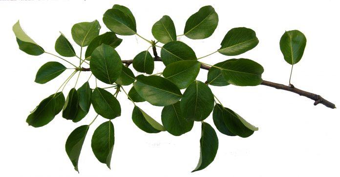 свойства чая из листьев