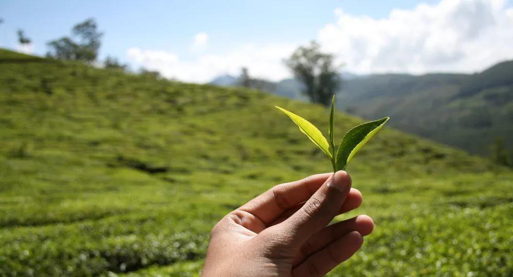 молодые листья чая