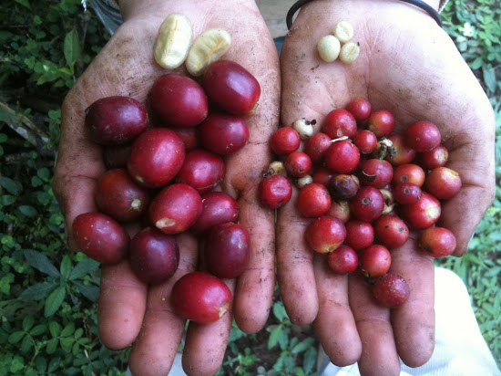 Зерна кофе Марагоджип