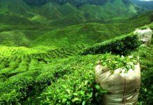как правильно заварить чай Дарджилинг