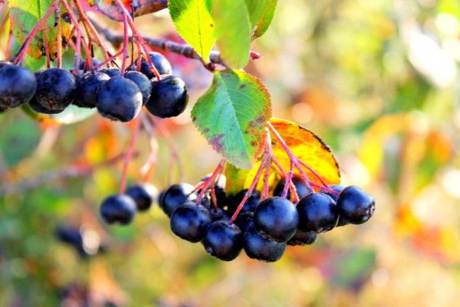 химический состав ягод черноплодной рябины