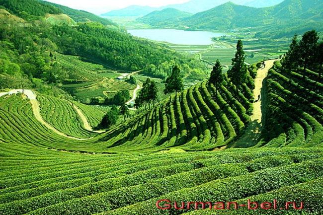 описание и состав индийского чая Ассам