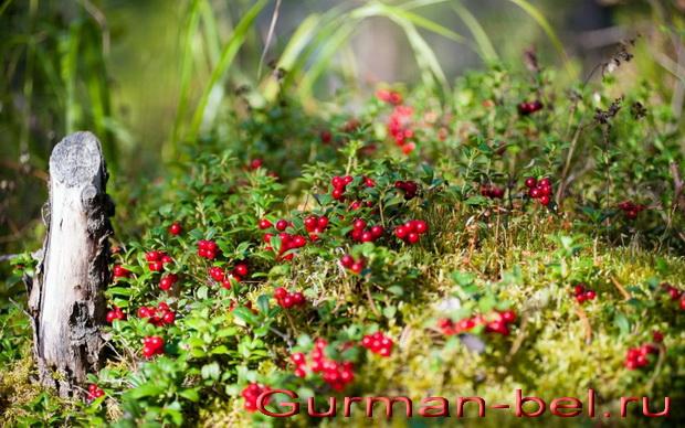 состав листьев и ягод брусники. Витамины и минералы