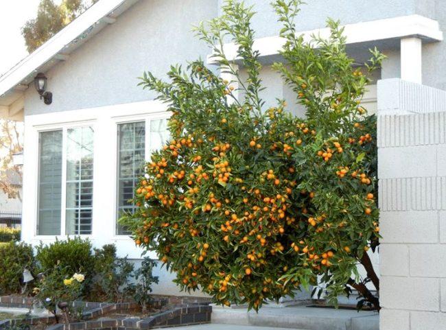 Кумкват - дерево