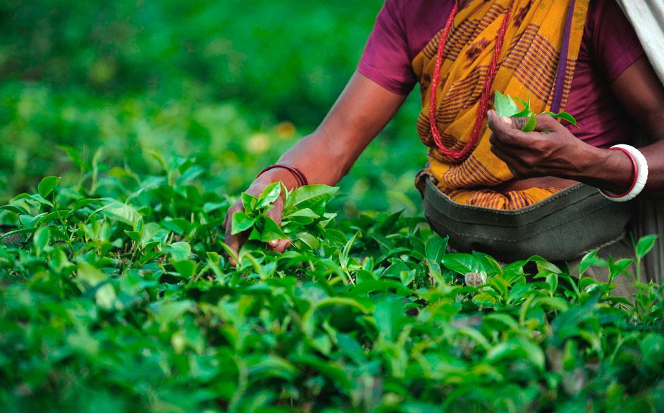 tea-plantation-5