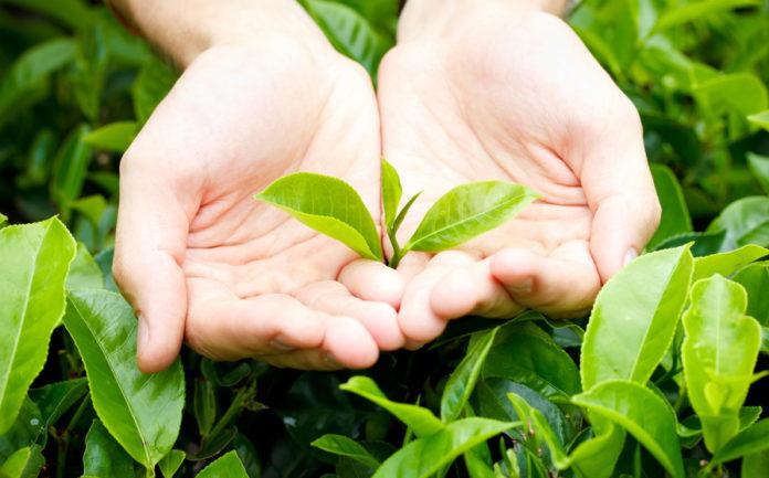 молодые чайные листья
