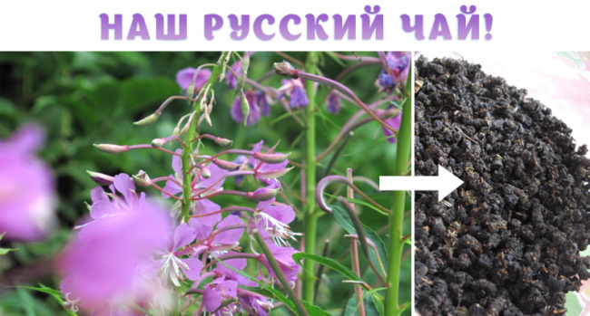 где растёт Иван-Чай в Крыму?