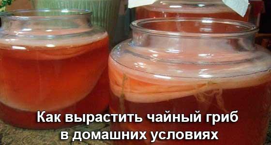 как вырастить чайный гриб