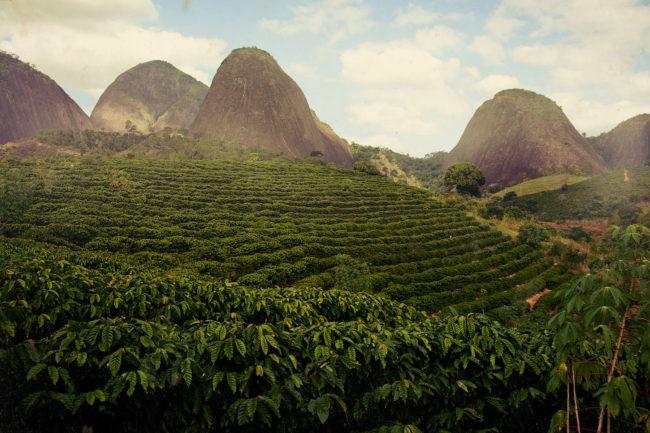 плантации кофе в бразилии