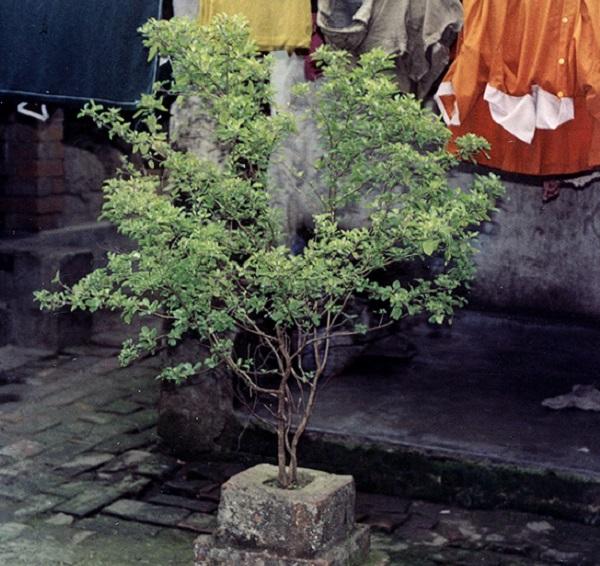 тулси или азиатский базилик